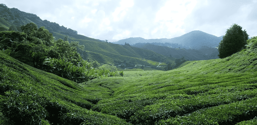 Places to Visit in Malaysia Tea Plantation Cameron Highlands